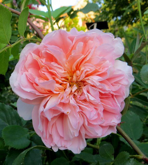 rosier Tea Clipper Taa_cl10