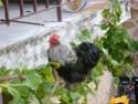 Mon mini-zoo... à plumes - Page 2 Le_coq10