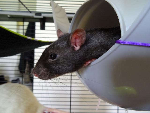 Sam, Dexter et Twitch, mes trois ratous  Dsc04011