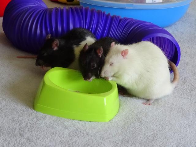 Sam, Dexter et Twitch, mes trois ratous  Dsc04313