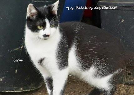 Perdu OSCAR chat noir/blanc castré et pucé à carnac Oscar11