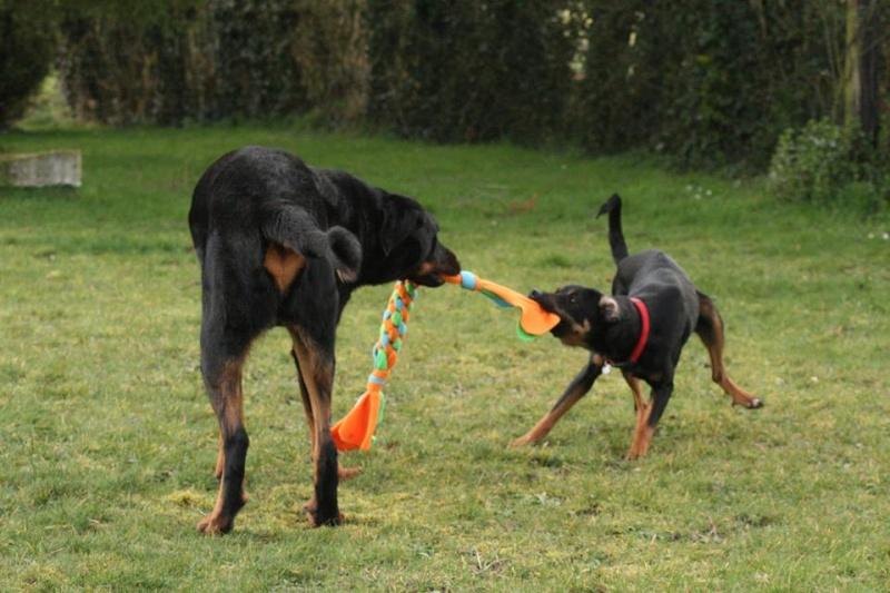 Les tugs, jouets à tirer pour chiens  10588610