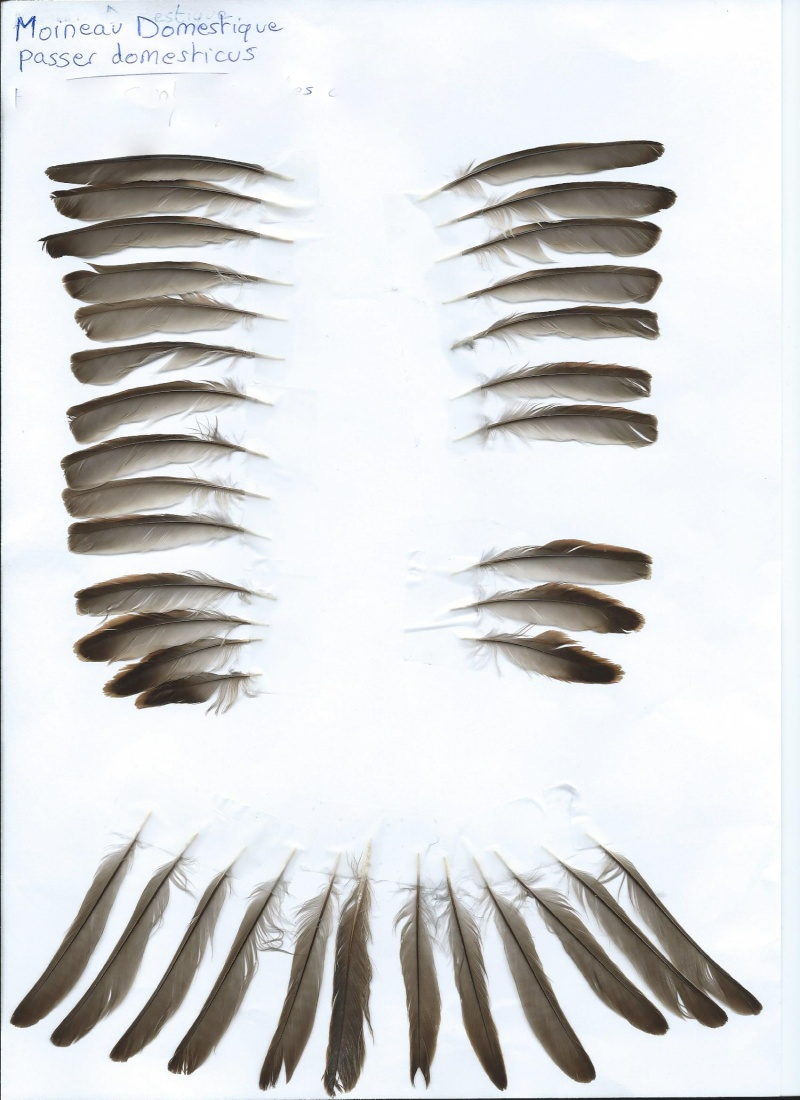 Moineau Domestique - Page 3 Scan0020