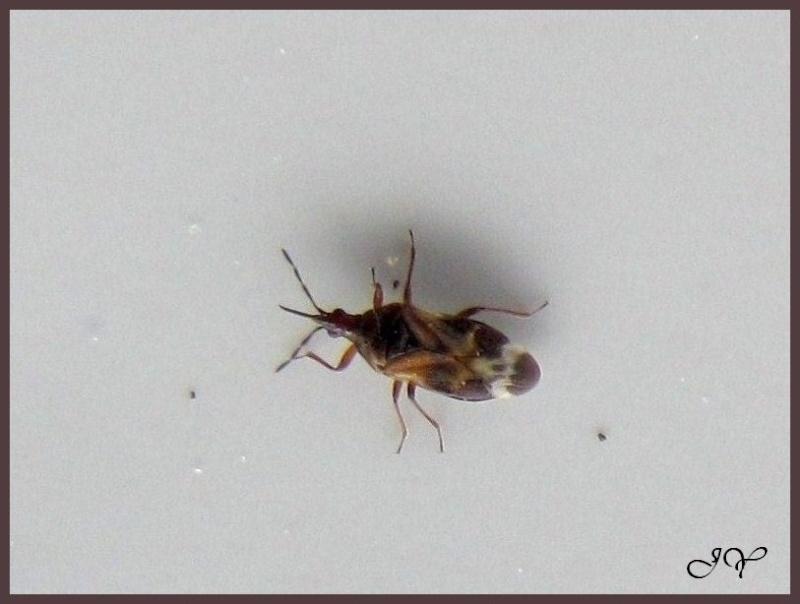 Identification punaise. Anthocoris. Anthoc10