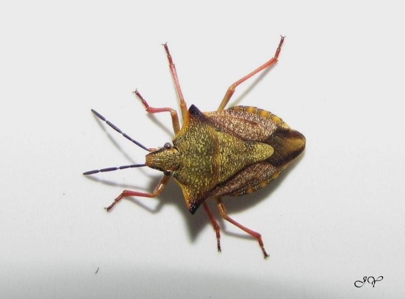 Carpocoris fuscipinus. Carpoc10