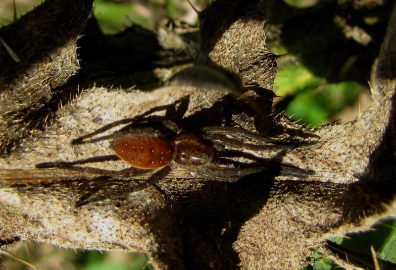 [ Dolomedes fimbriatus ] Araignée à déterminer Dolome10