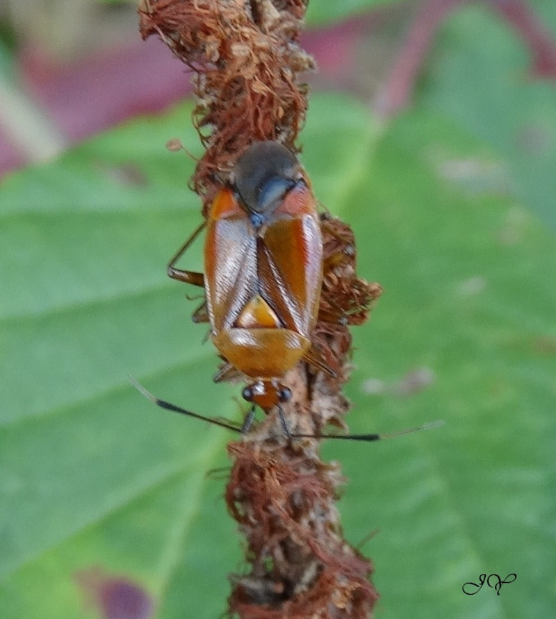Punaise identification. Deraeocoris ruber. Dsc03410