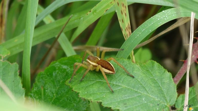 [ Dolomedes fimbriatus ] Araignée à déterminer Dsc06010