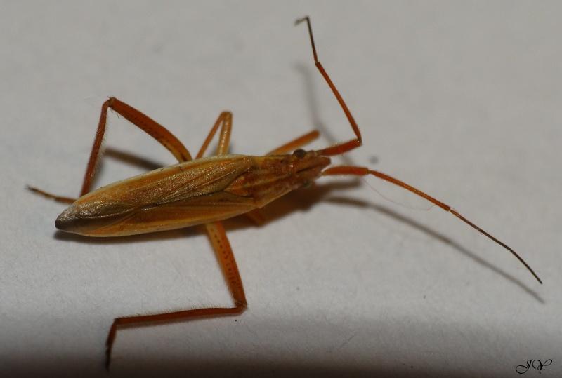 Miridae. Notost10
