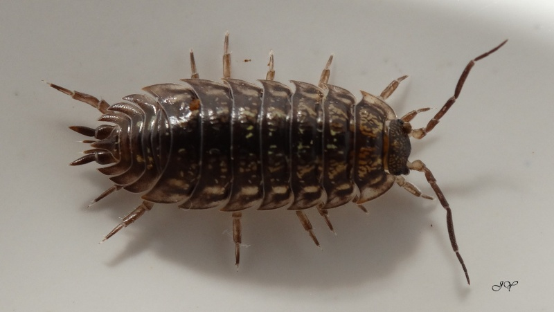 Cloporte. [Oniscus asellus + Porcellio scaber]. Philos10