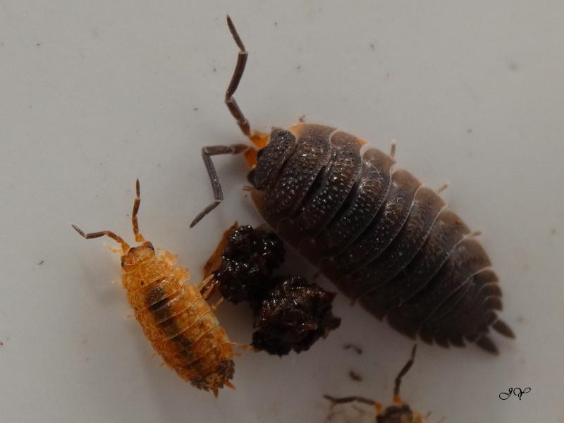 Cloporte. [Oniscus asellus + Porcellio scaber]. Porcel11