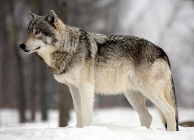 About: Wolf Development Grey_w10