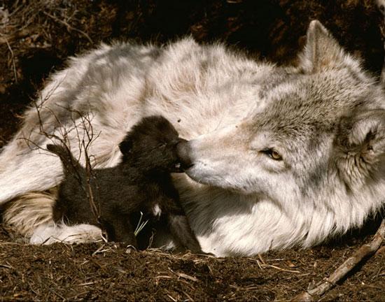 About: Wolf Development Pups_810