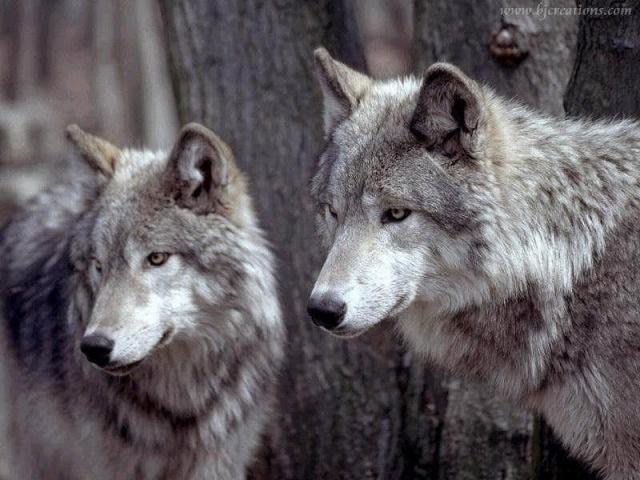 About: Wolf Development Wolf-c10