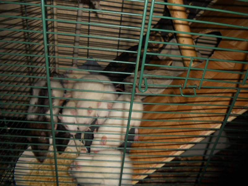SAUVETAGE D'UNE TRENTAINE DE RATS [AVEYRON] - Page 3 Femell11