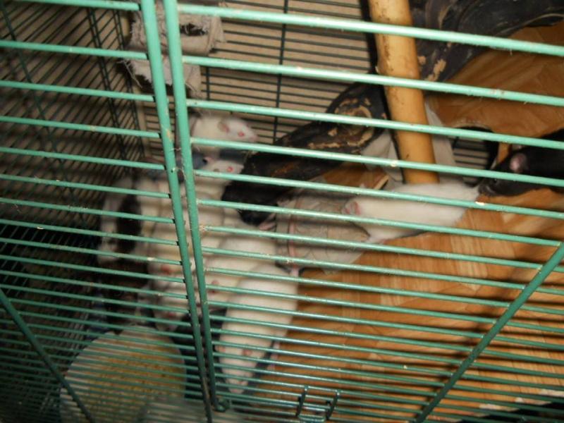 SAUVETAGE D'UNE TRENTAINE DE RATS [AVEYRON] - Page 3 Femell12