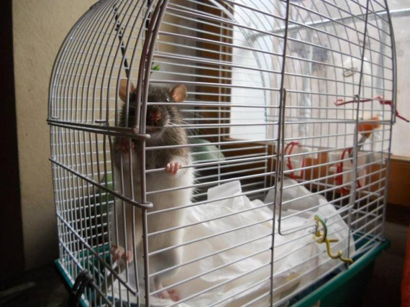 SAUVETAGE D'UNE TRENTAINE DE RATS [AVEYRON] - Page 3 Femell14