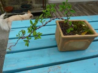 mes bonsaïs - Page 7 P1110510
