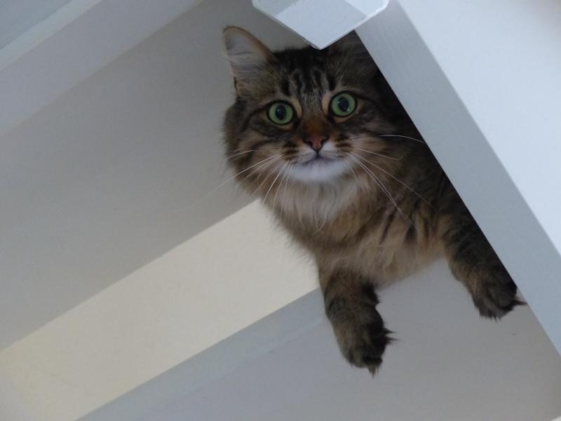 HALF, chaton tigré aux poils longs, né vers le 15 Avril 2012 P1000510