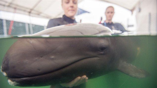 Aquarium de Vancouver : la jeune fausse orque 14072410