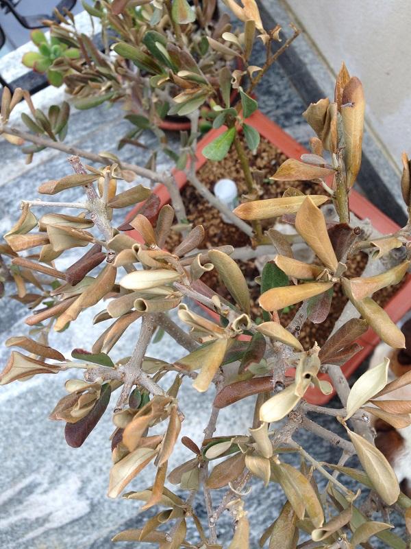 Ulivo con foglie marroni e quasi secche Img_0811