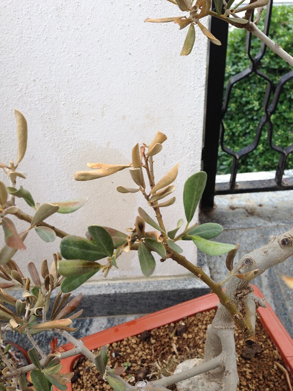 Ulivo con foglie marroni e quasi secche Img_0812