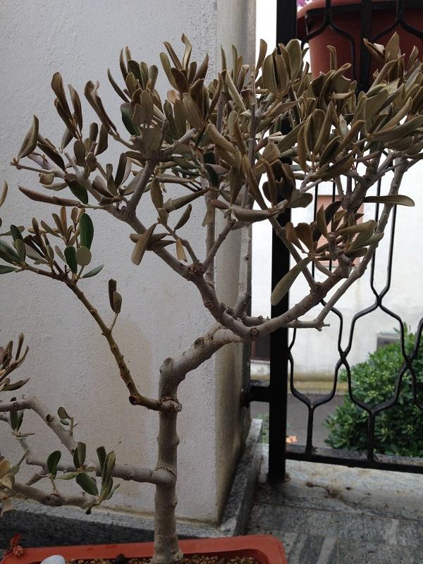 Ulivo con foglie marroni e quasi secche Img_0813
