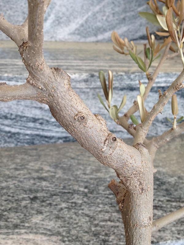Ulivo con foglie marroni e quasi secche Img_0816