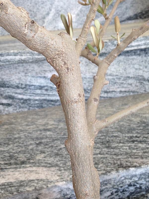 Ulivo con foglie marroni e quasi secche Img_0817