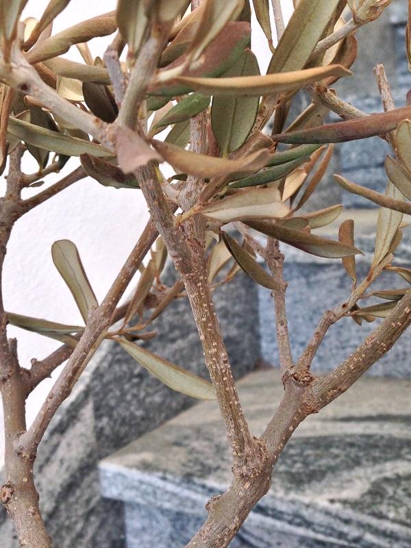 Ulivo con foglie marroni e quasi secche Img_0819