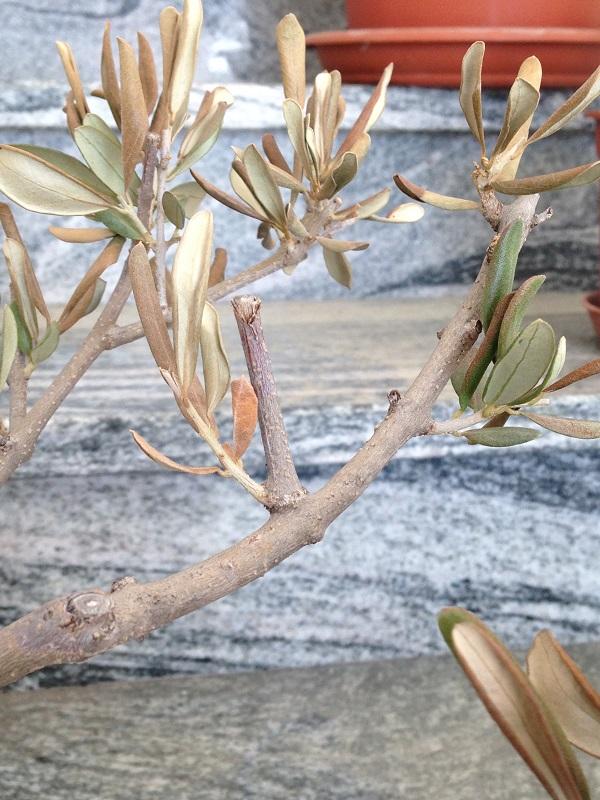 Ulivo con foglie marroni e quasi secche Img_0821
