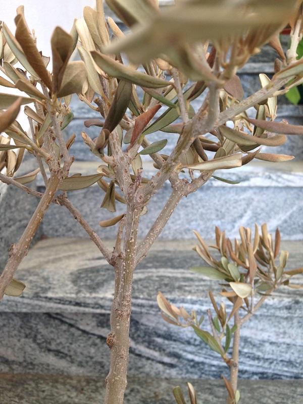 Ulivo con foglie marroni e quasi secche Img_0824