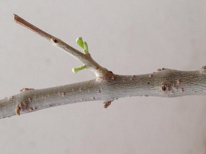 Ulivo con foglie marroni e quasi secche - Pagina 2 Img_0912