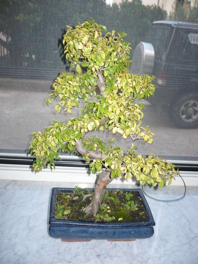 dubbio ciliegio cinese P1030011