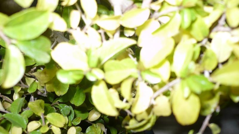 dubbio ciliegio cinese P1030012