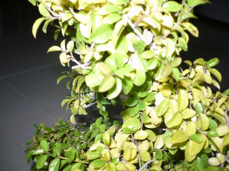 dubbio ciliegio cinese P1030014