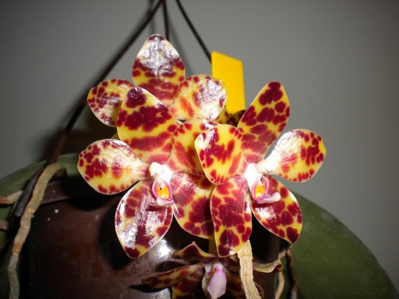 Phalaenopsis gigantea - Seite 5 Dscn3210