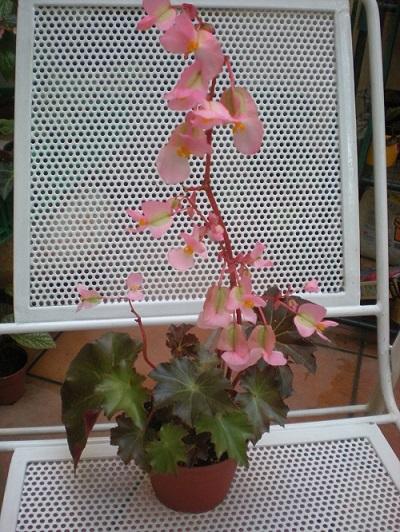 fleuraison d'un bégonia!mais lequel Dscn2110