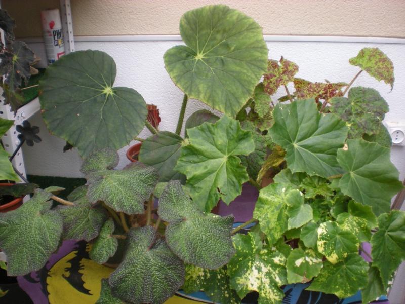 Bégonia Ricinifolia tâcheté? Dscn2617
