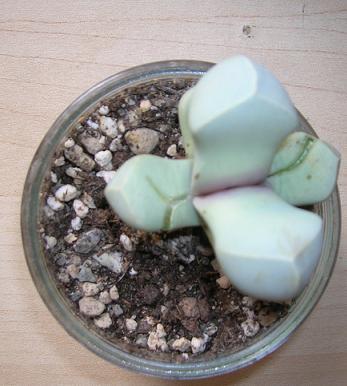 Lapidaria margaretae feuilles fendues Lapida14