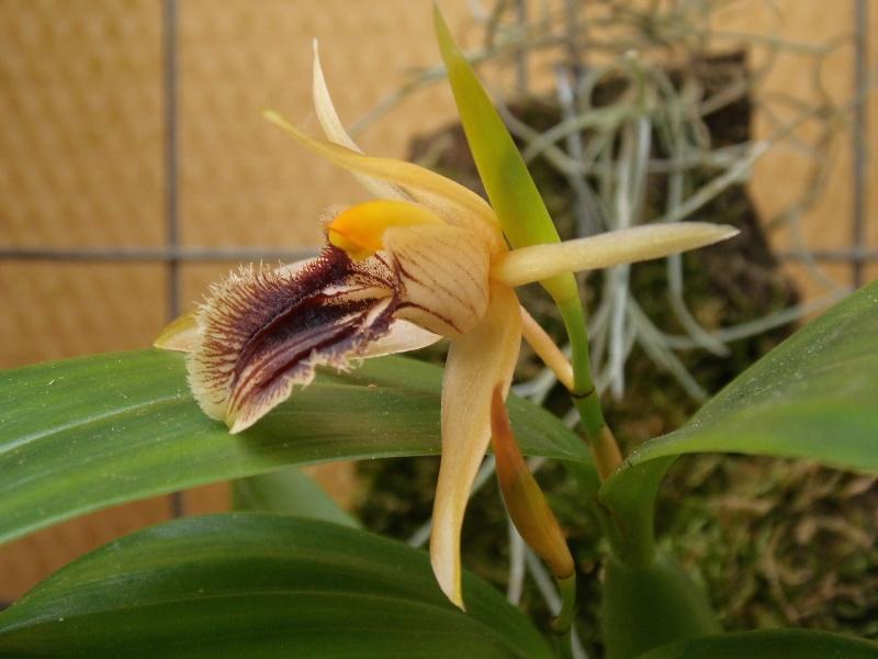 Miniatur-Orchideen 2. Teil - Seite 4 Coel_o10