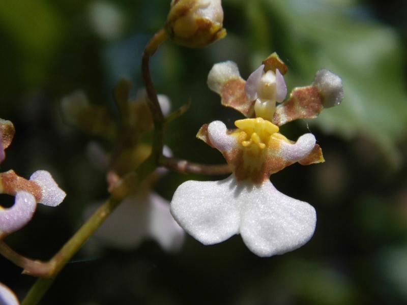 Miniatur- Orchideen - Seite 6 Dsci0018