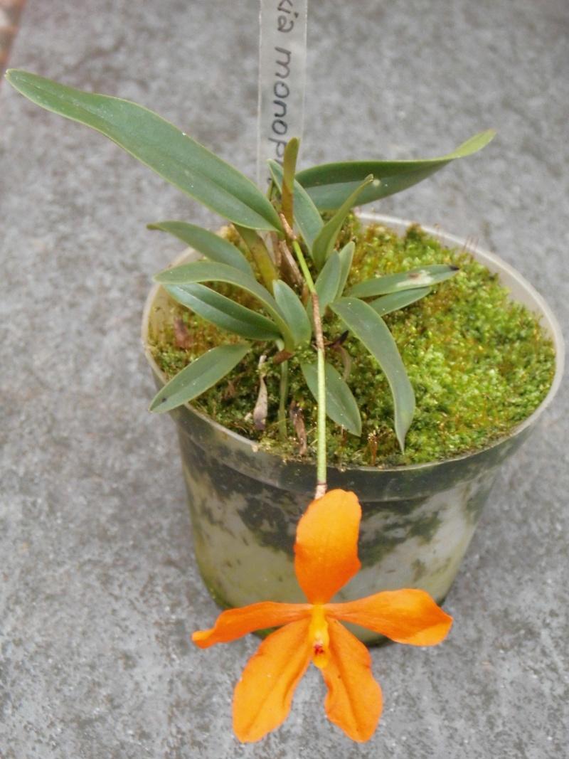 Neocogniauxia monophylla Dsci0038