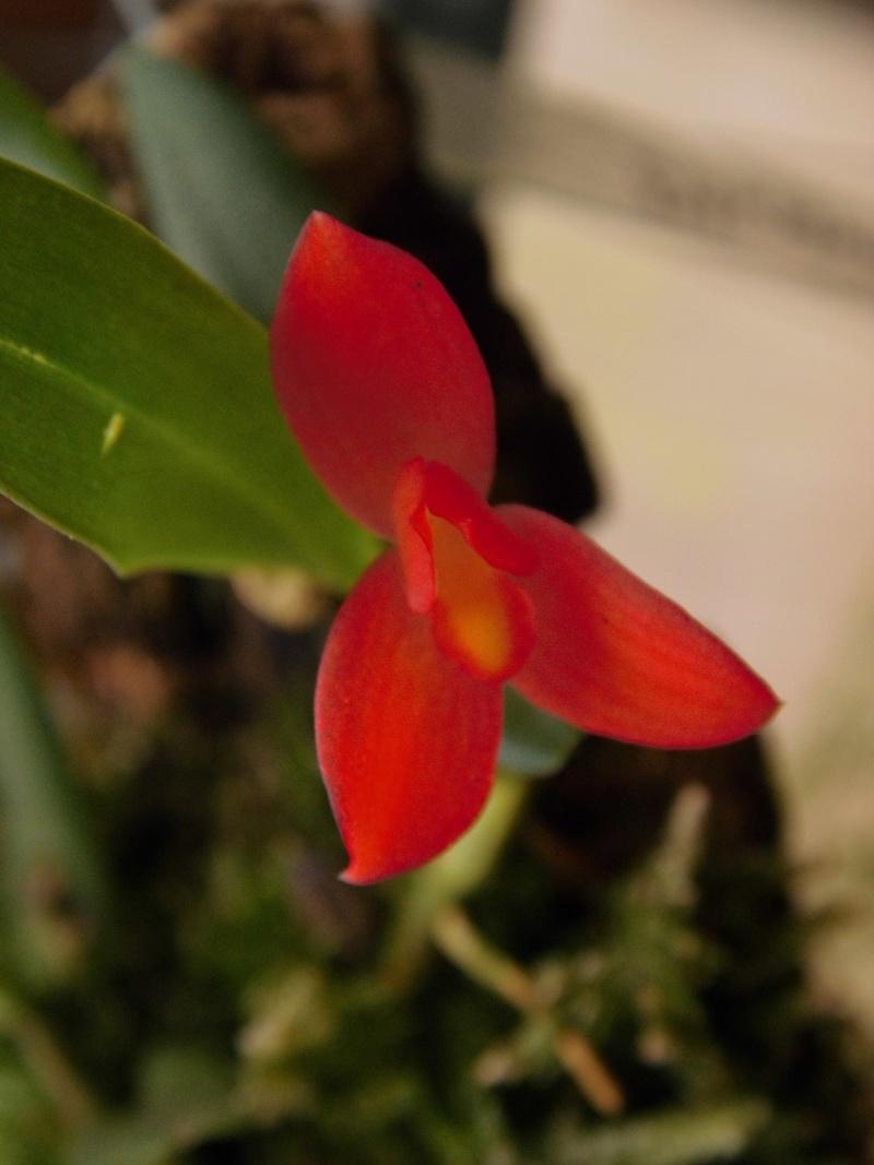 Miniatur-Orchideen 2. Teil - Seite 4 Max_so10