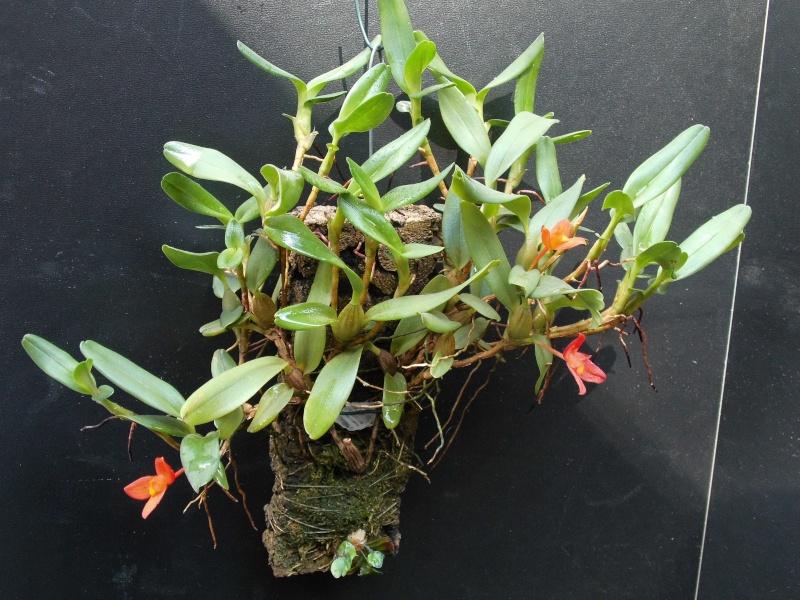 Maxillaria sophronitis  Ornith10