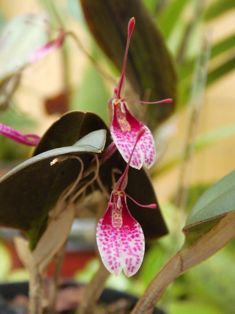 Miniatur-Orchideen 2. Teil - Seite 4 Restre10