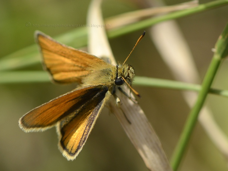 Thymelicus lineolus? _dsg7710