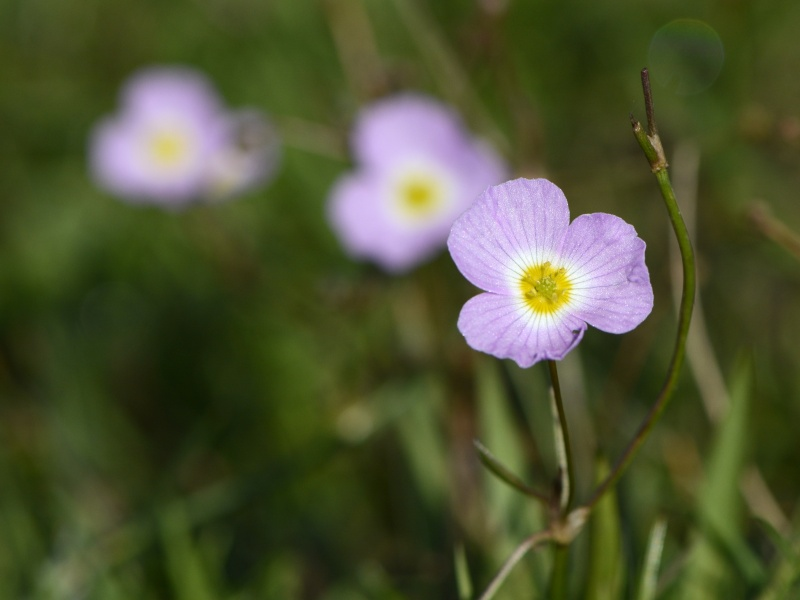 petite fleur rose trois pétales [Baldelia et Sagittaria] _dsg9610