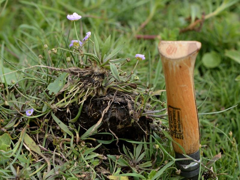 petite fleur rose trois pétales [Baldelia et Sagittaria] _dsg9810