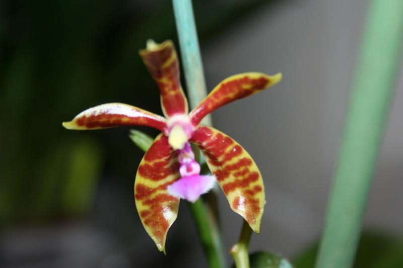 phalaenospsis manii x bastianii Img_0121
